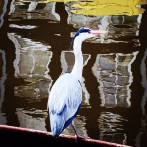 Heron in Amsterdam photo by Anthinula Tori