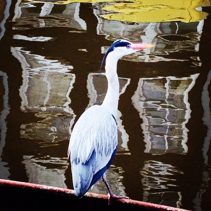 Heron in Amsterdam photo by Anthinula Tori